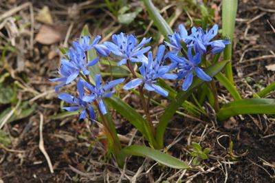 Modra čebulica